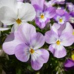 violas – lilac & white