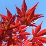 acer palmatum – not a flower!