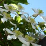 clematis – climbing through kiwi