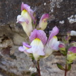 snapdragon – white-pink