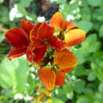 wallflower dark orange