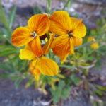wallflower – light orange
