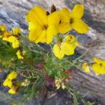 wallflower – yellow